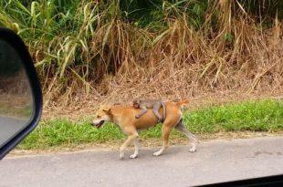 Cachorro é flagrado levando macaco nas costas