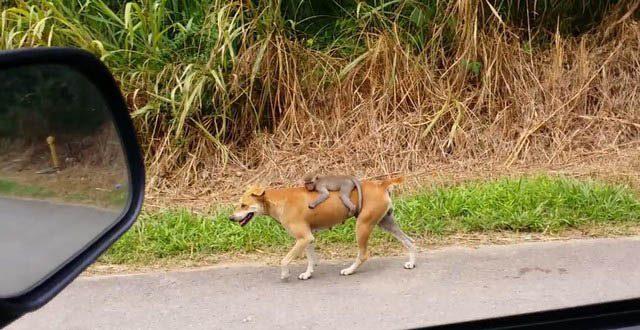 Cachorro é flagrado levando macaco na garupa