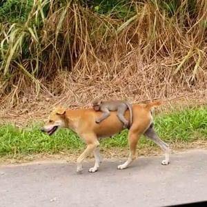Cachorro é flagrado levando macaco nas cotas